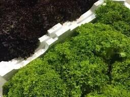 Цветная капуста и брокколи из Испании. Прямые поставки. - фото 2