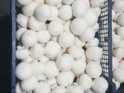 Fresh quality champignons