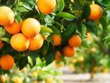 Апельсины - photo 2