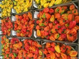 Перец острый сорт Хабанеро. Испания -Ecoinver Export - фото 3