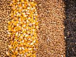 Зерно - пшеница, кукуруза, ячмень, просо, овес, рожь   Grain - photo 1