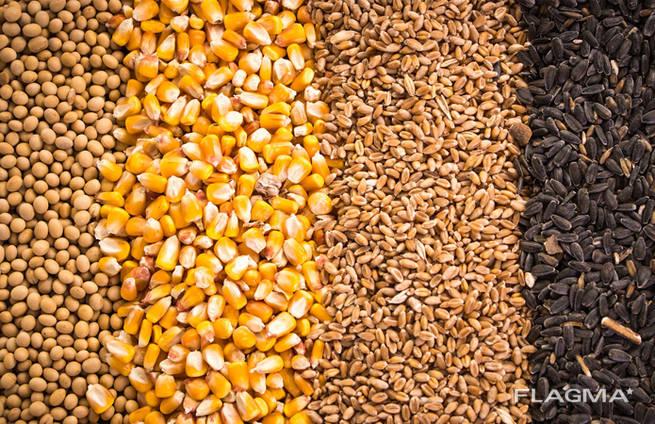 Зерно - пшеница, кукуруза, ячмень, просо, овес, рожь   Grain